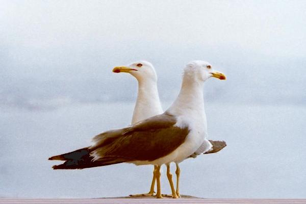 seagull-alan-bee