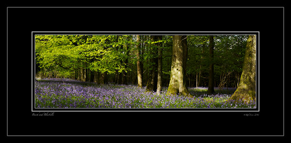 beech-and-bluebells-rob-ferns